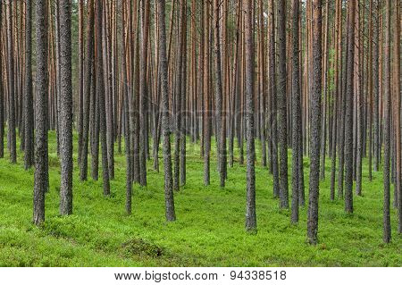 Thick Coniferous Forest, Pine Trunks Background