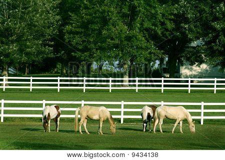 Beautiful horses grazing