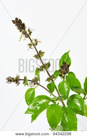Thai Lemon Basil