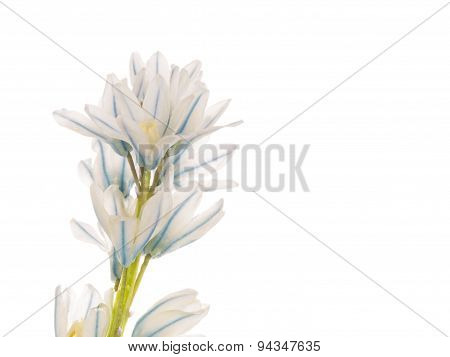 Spring Flower Puschkinia Niatsintnoides