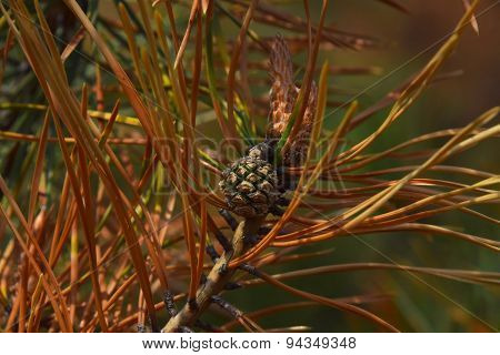 Young Pine Cone With Weevil Among Green And Burnt Biege And Brown Needles On A Branch On Brown