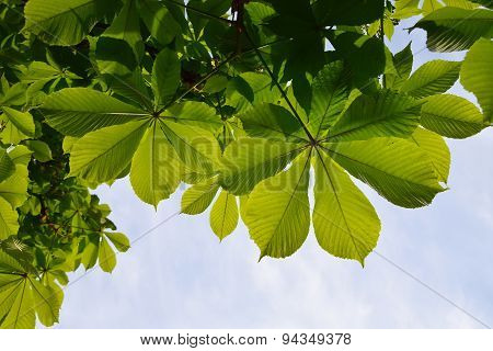 Translucent And Green Horse Chestnut Leaves In Back Lighting On Blue Sky Background