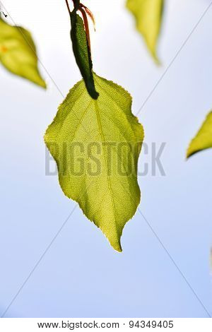 Shiny Translucent Apricon Tree Leaf On Light Blue Sky Background, Merely Open, Vertical