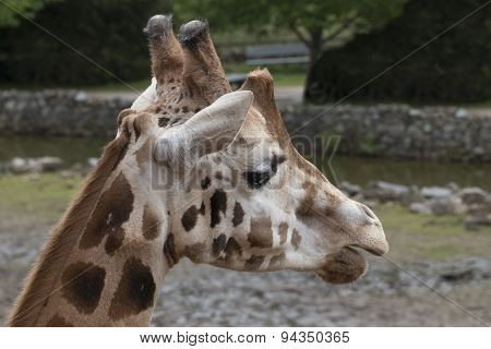 Headshot Giraffe, Close Up
