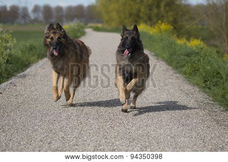 Two Belgian Shepherd Tervuren Dogs Running Outside