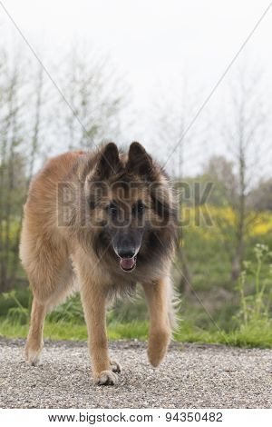 Belgian Shepherd Tervuren Dog, Looking In Camera