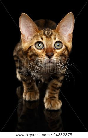 Closeup Crouching Bengal Kitty Isolated on Black