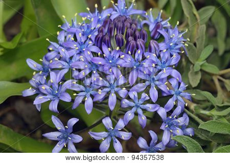 Portuguese Squill