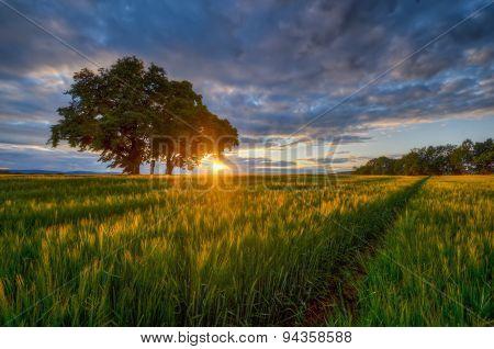Sunset on rye field