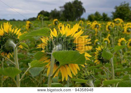 A beautiful yellow Sunflower field