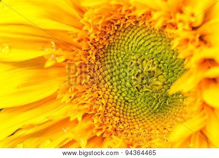 Detail of a vibrant yellow sunflower.