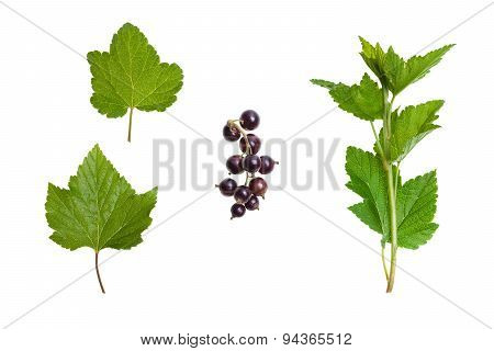 Blackcurrant - green leaves, stalk and ripe black fruits, on a white background.
