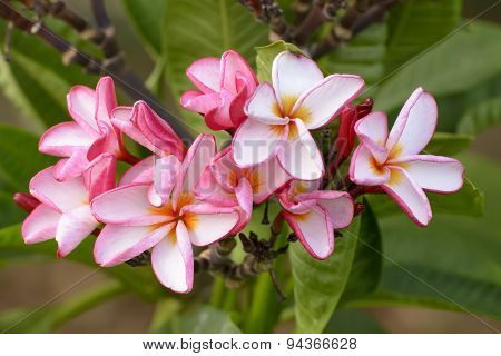 Desert Rose is a bright-colored flowers