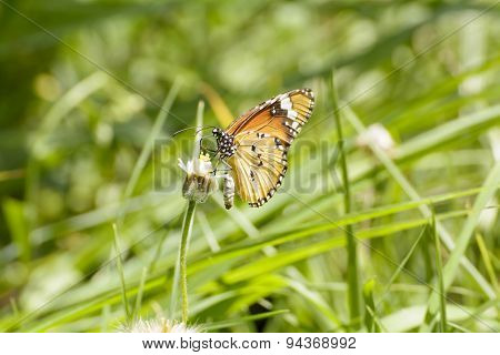 Butterfly and poaceae