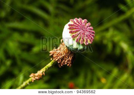 Ripen Wild-growing Poppy