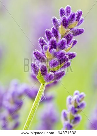 Closeup of lavender flowers in blossom