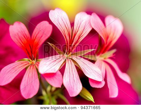 Closeup of South African Geranium in blossom