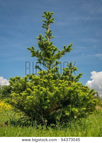 Young Abies koreana  growing in the backyard shot over blue sky
