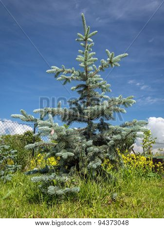 Young Hoopsii Blue Spruce growing in the backyard shot over blue sky