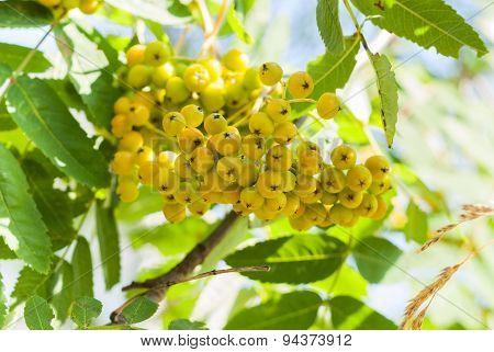 Yellow Rowan
