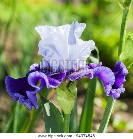 beautiful flower iris closeup. blue, purple