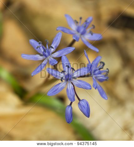 Squill flower
