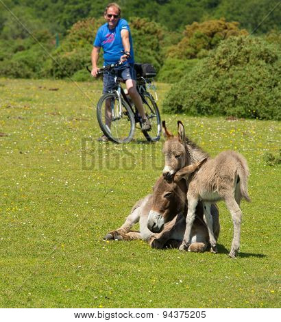Mother and baby donkey enjoying the sunny summer sunshine in the New Forest Hampshire uk