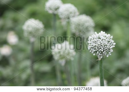 Close view of onion flower stalks