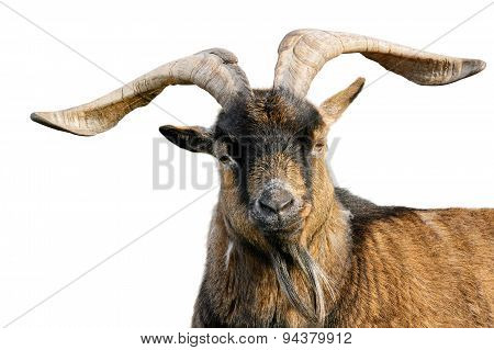Goat With Impressive Horns Isolated On White