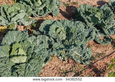 Cabbage Grow
