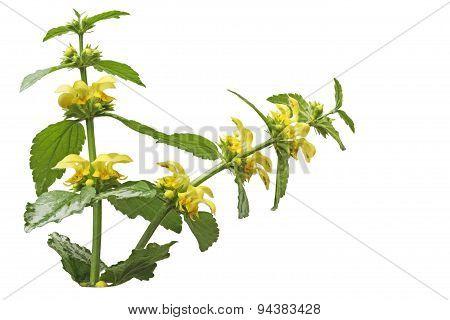 Yellow Archangel Flower