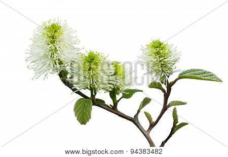 Dwarf Fothergilla Flower