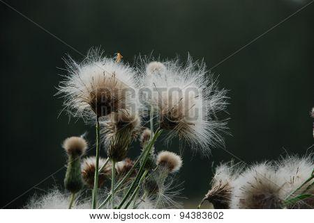 Fluffy Flower On A Dark Background