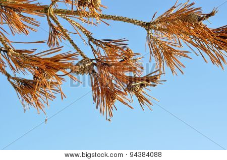 Yellow Lines Of Pine Trees On The Background Of Blue Sky.