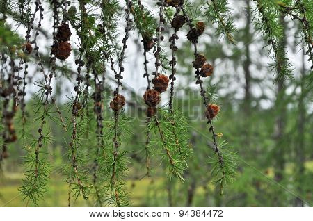 A Branch Of The Larch Pine Cones.
