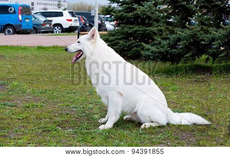 White Shepherd profile.