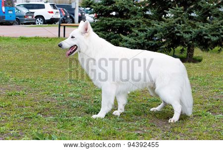 White Shepherd stands.