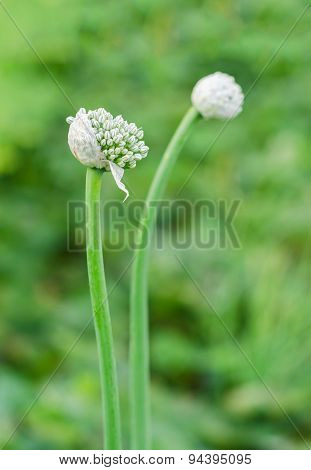 Garlic Flower Bud In The Garden