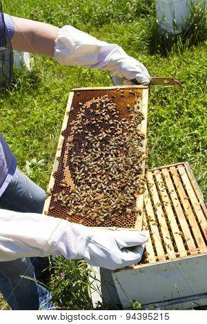 Beekeeper Examining Honey Bees