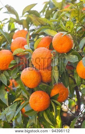 mandarins on tree