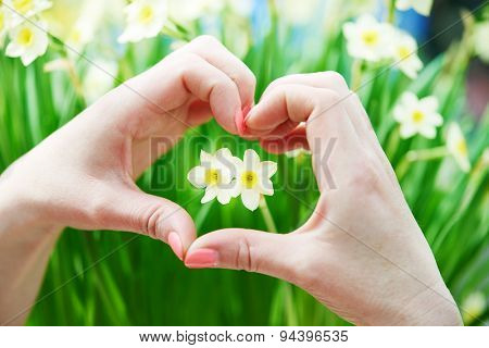 Love concept. Hand with heart shape around small narcissus daffodil flower bud. Shallow DOF