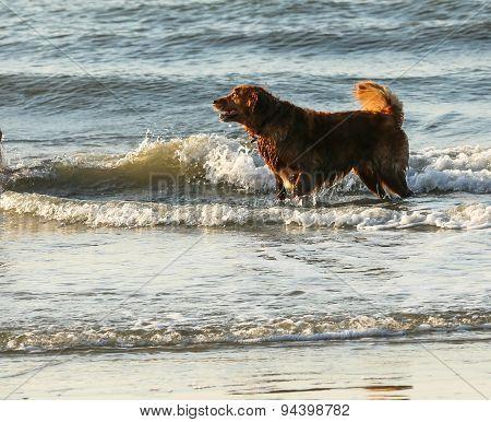 Dog in Surf