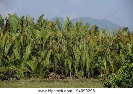 Asia Myanmar Myeik Agraculture