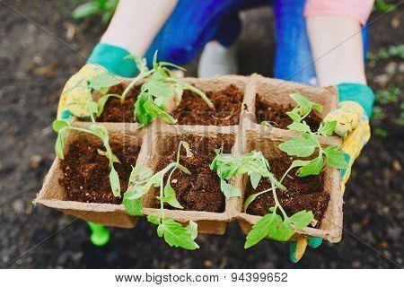 Tomato seedlings in small peat pots held by female farmer