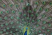 picture of blue animal  - Indian peafowl  - JPG