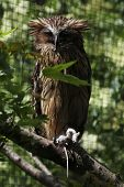 picture of malay  - Buffy fish owl  - JPG