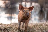 stock photo of furry animal  - Cute orange young mangalitsa  - JPG