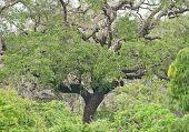image of vegetation  - Leopard hideout in lush green jungle vegetation in Yala National Park Sri Lanka Asia - JPG