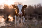 stock photo of calf cow  - Calf cow standing on the field near the swamp at sunset and looking at the camera - JPG