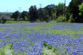 stock photo of bluebonnets  - Beautifully field of bluebonnets in the hill country - JPG